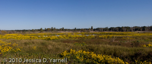 Yellow Flower Marsh Panorama