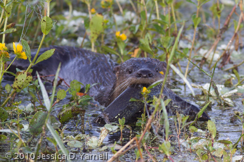 River Otter with Breakfast