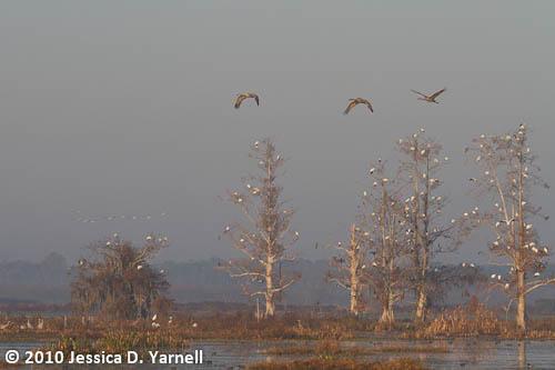 Sandhill Cranes at Sunrise
