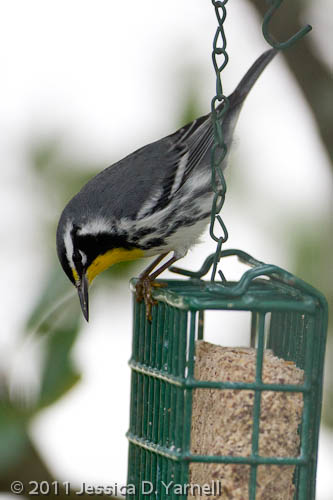 Bow Tie and his suet