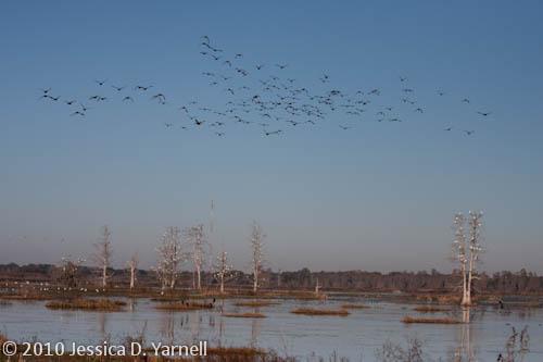 Black-Bellied Whistling Duck flock in flight