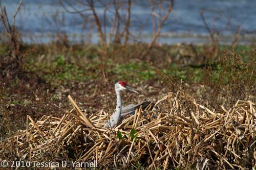 Sandhill Crane nest site?