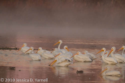 American White Pelicans at dawn