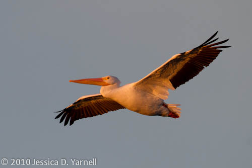 American White Pelican (10min after sunrise)