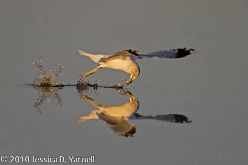 Ring-Billed Gull grabs fish