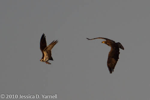 Eagle and Osprey Fish Fight