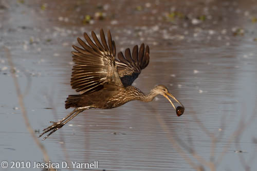 Limpkin with apple snail