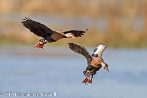 Black-Bellied Whistling Ducks prepare to land