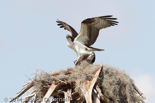 Osprey Nest Protection