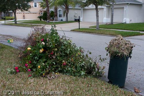 Rosebeds after pruning