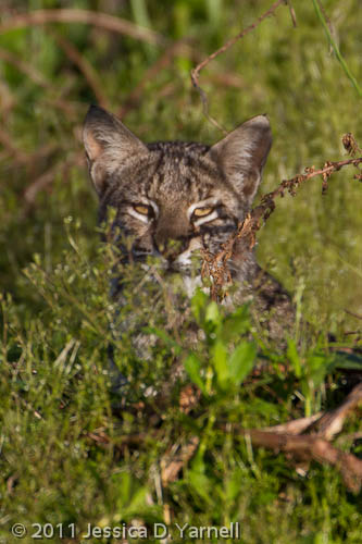 Bobcat – Peek a boo!