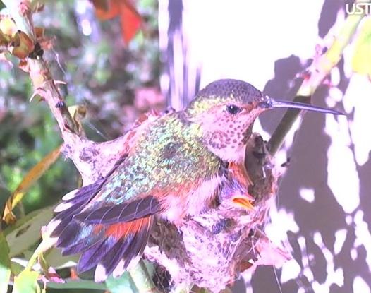 Phoebe the Hummingbird