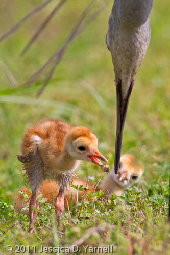Sandhill Crane colts being fed