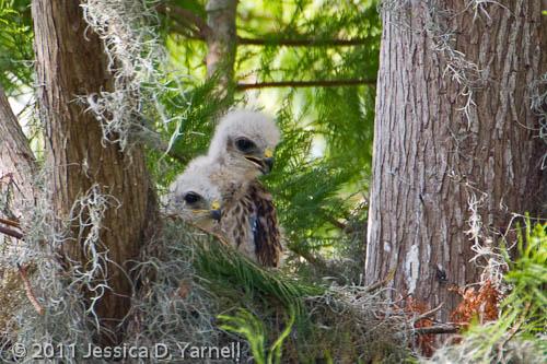 Baby Red-Shouldered Hawks