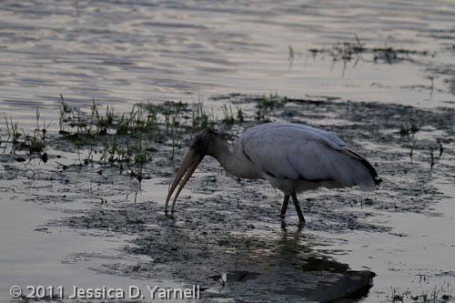 Wood Stork – too dark
