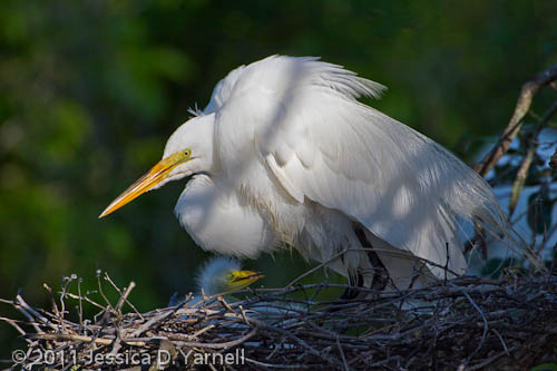 Great Egret nest with chicks