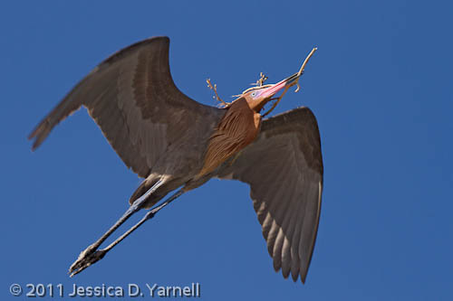 Reddish Egret with nesting material
