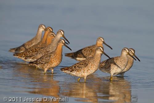 Short-Billed Dowitcher Flock