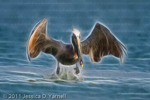 Brown Pelican.  Fort De Soto.