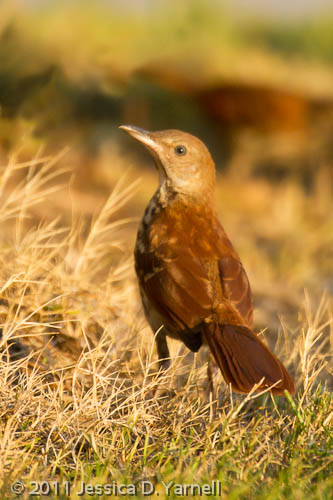 Brown Thrasher Fledgling