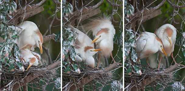 Cattle Egrets Mating