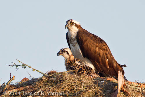 Osprey Mom and Baby