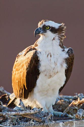 Parent Osprey