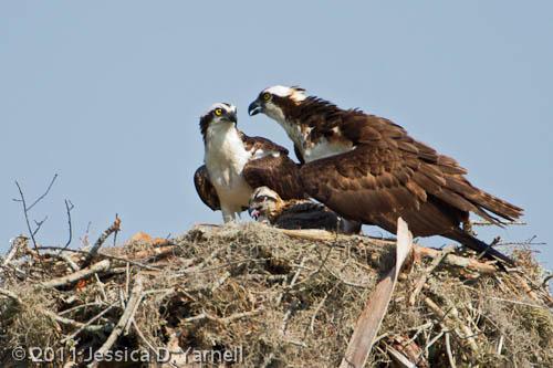 Osprey Family Portrait