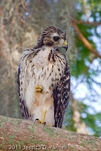 Red-Shouldered Hawk Fledgling