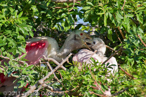 Roseate Spoonbill baby feeding time