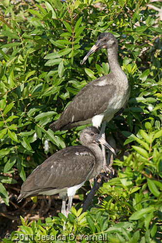 White Ibis fledglings