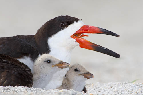 Black Skimmer nest