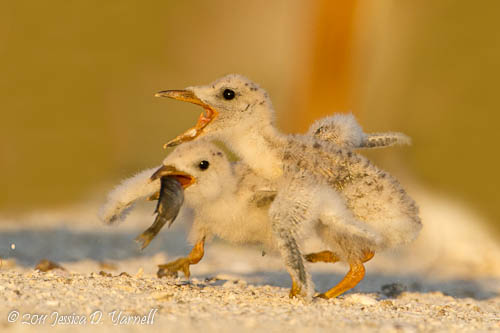 Black Skimmer chicks