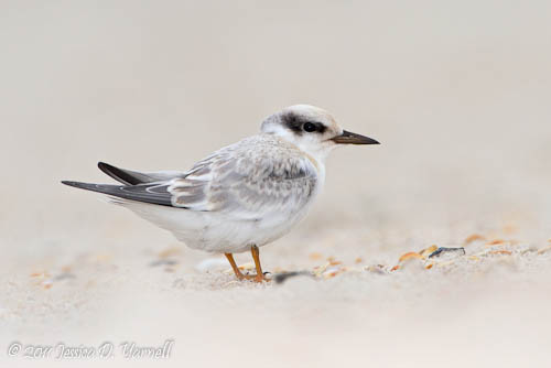 Least Tern fledgling