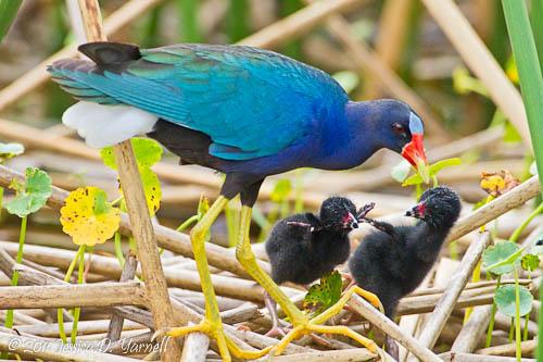 Purple Gallinule Family