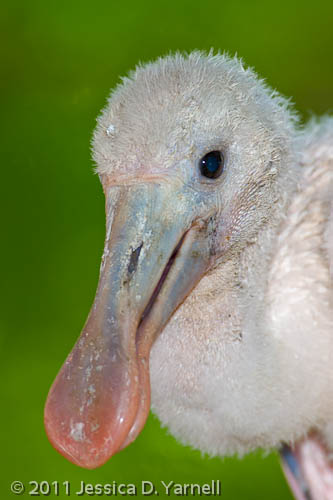 Roseate Spoonbill chick