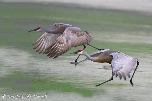 Sandhill Crane take-off