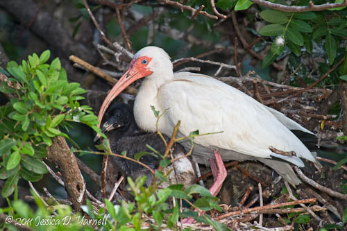 White Ibis with Baby