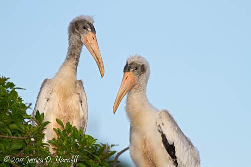Wood Stork juveniles