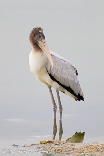 Wood Stork juvenile
