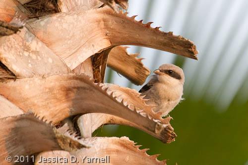 Loggerhead Shrike fledgling