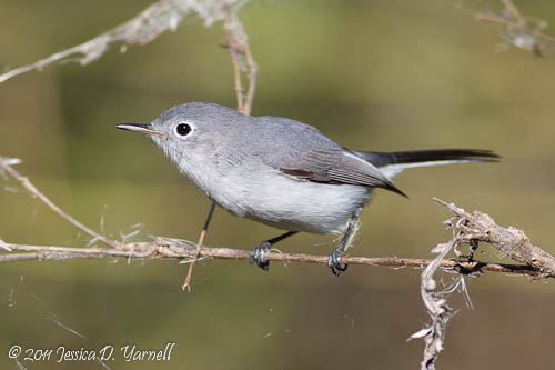 Blue-Gray Gnatcatcher (from CBBR last year)