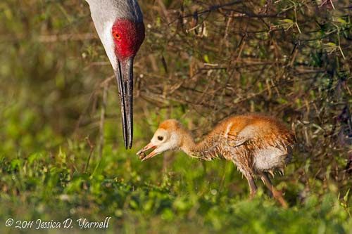 Sandhill Crane Mother and Baby