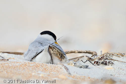 Least Tern mom with her chicks