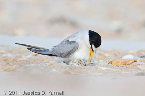 Least Tern on eggs