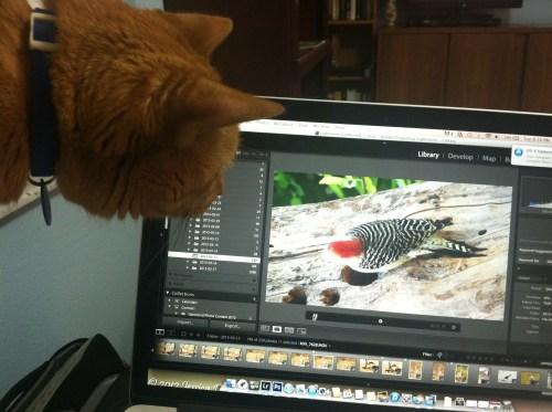 Goldy watches a bird-bird-bird video!