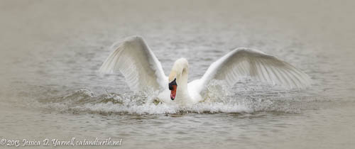 Dance of the Swan.  Lake Morton.