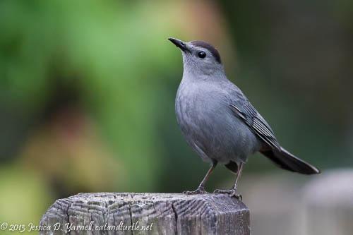Gray Catbird.  Gatorland.