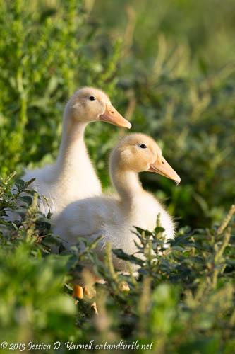 Yellow Ducklings.  Lake Morton.