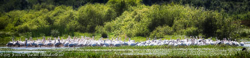 American White Pelican Party